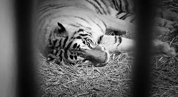 Tygrysy w poznańskim zoo